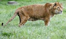 Kříženec tygra a lva se v angličtině nazývá liger (ze slov lion a tiger)