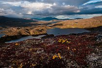 Podzim v arktické tundře netrvá dlouho. Rozlehlé porosty brusinek se barví do teplých barev velmi rychle. Na snímku je oblast Iluliumanersuup Portornga.