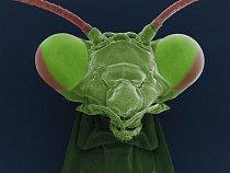 Kudlanky (Mantodea) mají v České republice jediného zástupce - Kudlanku nábožnou (Mantis religiosa). Kudlanky jsou dravý hmyz, který se maskuje a trpělivě číhá na svou kořist, kterou bleskově zachytí