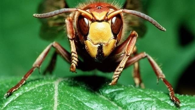 Deset nejbolestivějších bodnutí v říši hmyzu. Vědec je otestoval na vlastní kůži