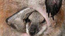 VIDEO: Jak se rodí klokan. Mládě velké několik centimetrů si hledá do vaku cestu samo