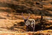 Lov sobů polárních (Kangifer tarandus) má v inuitské kultuře dlouhou tradici a tvoří její důležitou součást. Navíc sobí salám je jeden z velmi mála skutečně grónských suvenýrů, které si odtud může tur