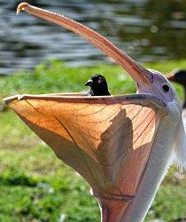 Tato fotografie vznikla v jednom z londýnských parků, St James. Pelikán si právě dával k obědu holuba.