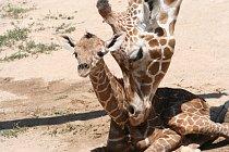 Březost u samic trvá 457 dní, po kterých se narodí jedno mládě, jen výjimečně se narodí dvojčata.