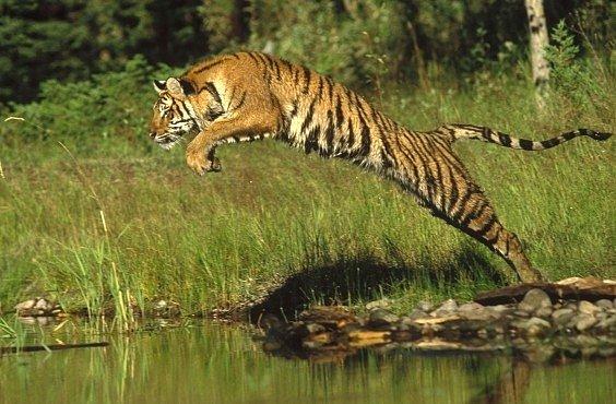 VIDEO: Tygr proti robotovi. Pro National Geographic a vědecké účely
