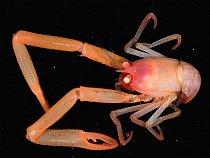 Krab Uroptychus žije asi 600 metrů pod hladinou.