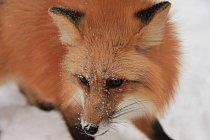 Liška obecná (Vulpes vulpes) je dnes rozšířena po celé Euroasii, Severní Ameriku a severní Afriku.
