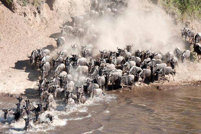 Nezastaví je ani nebezpečí, které na ně číhá během brodění řeky.