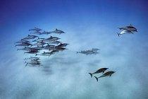 Delfíni dlouholebí se vracejí zlovu dozálivu uhavajského ostrova Oahu. Povídaví adružní delfíni se sdružují doskupin, které mohou mít až tisíce členů.