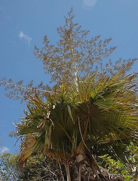 Palma kvetoucí jednou za život (Tahina spectabilis) roset na Madagaskaru.