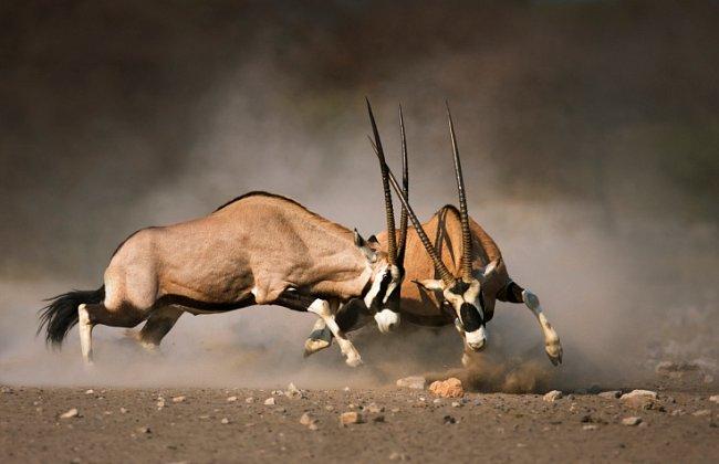 Bitky mezi zvířaty