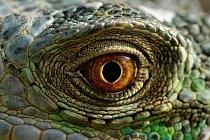 Leguán zelený má vynikající zrak, díky kterému spatří i jen nepatrný pohyb z velké vzdálenosti. Rozeznává širší škálu barev než člověk a vnímá ultrafialové spektrum.