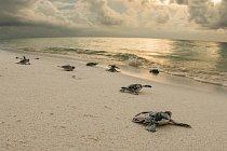 Populace všech sedmi druhů mořských želv dnes strmě klesá. Čtyři z nich jsou považovány za kriticky ohrožené, další tři jako ohrožené vyhynutím.