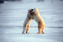Souboje ledních medvědů mohou být velmi tvrdé a končit i smrtí.