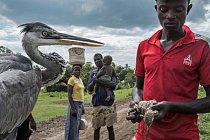 Ochránci přírody drží otrávenou volavku popelavou a ptáky, kteří uhynuli po leteckém práškování pesticidem fenthionem v oblasti Bunyala, kde se pěstuje rýže. Vesničané tyto ptáky sbírají a jedí, přestože jsou kontaminovaní.