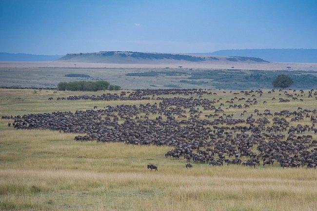 Africká divočina rázem ožije, když se stádo tisíců pakoňů vydá na další ze svých poutí, tentokrát mezi národním parkem Serengeti v Tanzánii a rezervací Masai Mara v Keni.