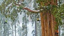 Největší stromy na světě a překvapivá nová fakta. EXKLUZIVNĚ PRO NG
