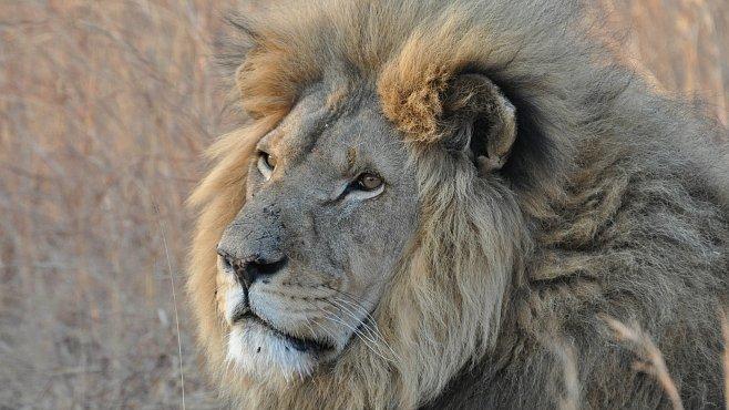 ROZHOVOR: Lvi volají o pomoc. V Zimbabwe vědí, jak je zachránit