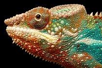 Svoji barvu mění chameleoni podle emocí.