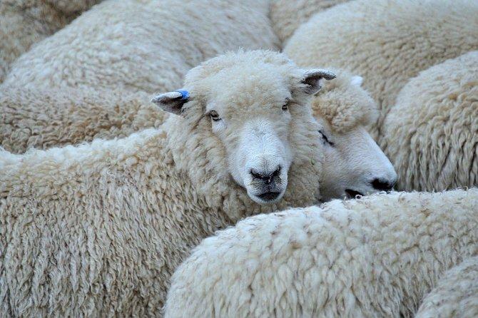 Vzhledem k velikosti jejich mozku a dlouhověkosti jsou ovce dobrým zvířecím modelem pro studium neurodegenerativních poruch, jako je Huntingtonova nemoc.