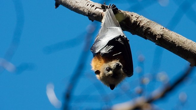 Tajemní netopýři mohou vymřít. Může za to změna klimatu i jejich vzhled