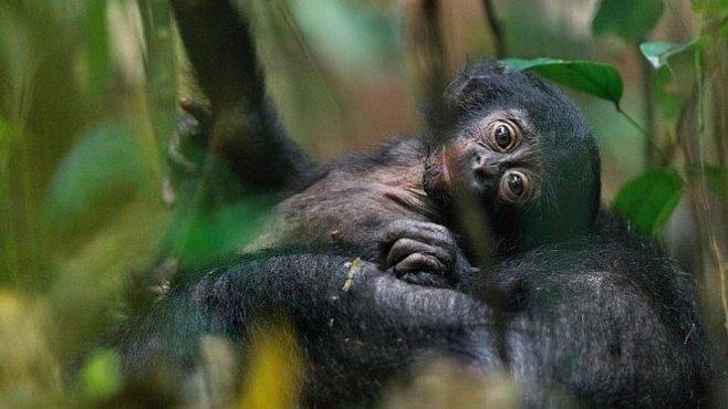 Vychází nové číslo National Geographic: Přečtěte si o bonobech, ropě nebo o bezpilotních letounech