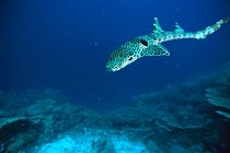 Milne Bay, Papua-Nová Guinea: Žralůček okatý
