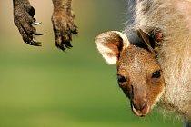 Mládě klokana obrovského (Macropus giganteus)
