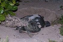 Želva připlouvá na pláž...