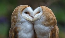 Sova pálená vytváří trvalé páry, které zpravidla zůstávají věrné místu hnízdění.