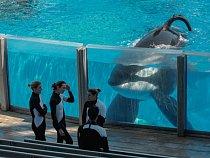 Tento samec kosatky zmořského parku SeaWorld vroce 2010 zabil cvičitele. Potřiceti letech života vzajetí by vevolné přírodě patrně nepřežil, říkají odborníci.