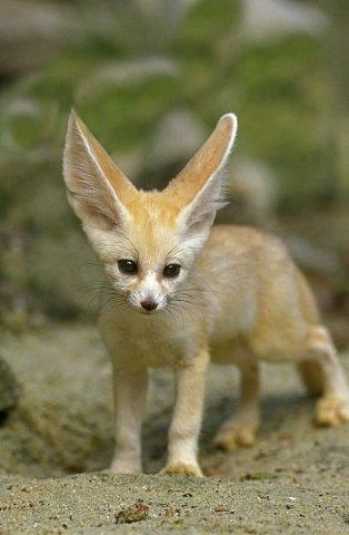 Někteří lidé chovají fenky jako domácí mazlíčky, ale tato pouštní zvířata jsou nejspíš šťastná v poušti a ne v nějakém bytě.