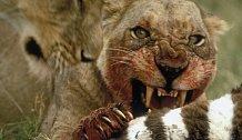 Nejhorší lidožrouti v dějinách: Lvi z Njombe zabili 1500 lidí