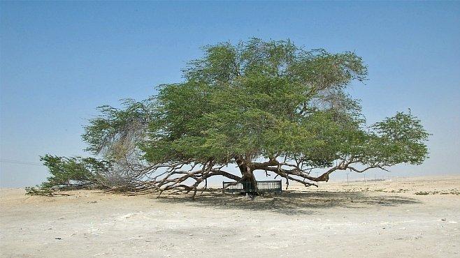 Strom života v Bahrajnu. Zázrak uprostřed pouště a nehostinné krajiny přežívá už stovky let