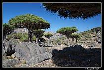 Les dračinců zvaných stromy dračí krve na planině Firmihin