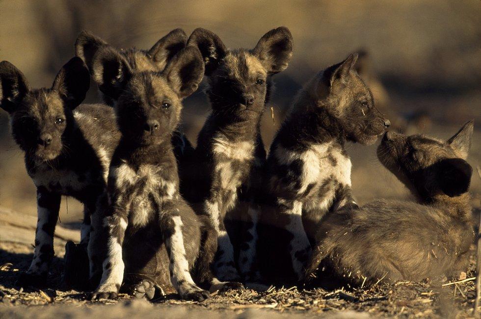 Štěňata psů hyenovitých
