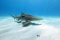 Žralok citronový má laser upevněný na ploutvi (Bahamy, 24. dubna 2012)