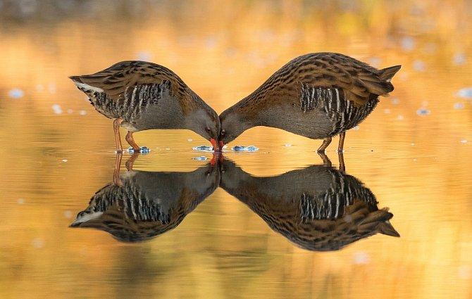 Dokonalá symetrie díky vodní hladině lesknoucí se v podzimním slunci. Poblíž skotského města Kirkcudbright zachytil snímek pár chřástalů vodních - ptáků, kteří obvykle žijí ukryti v nejhustší bahenní vegetaci a otevřená místa jen rychle přelétávají.