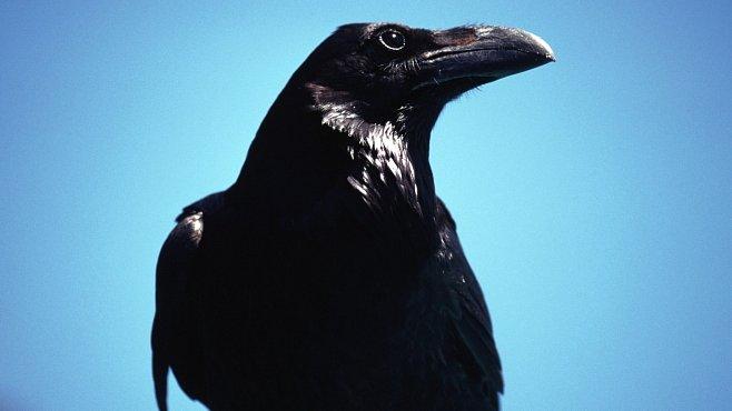 Kdo z vás rozezná vránu, havrana a krkavce? Klid, to zvládne jen málokdo