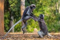 Já jsem se jí líbil první! Dva gibboni v thajském národním parku Kaeng Krachen byli zachyceni při líté bitce.