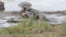 Krokodýly nevidí hroši rádi.