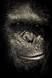 Na rozdíl od většiny ostatních zvířat šimpanz pozná, že odraz v zrcadle je on sám, a nikoliv jiný šimpanz.