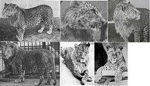 Hybrid samce leoparda a lvice