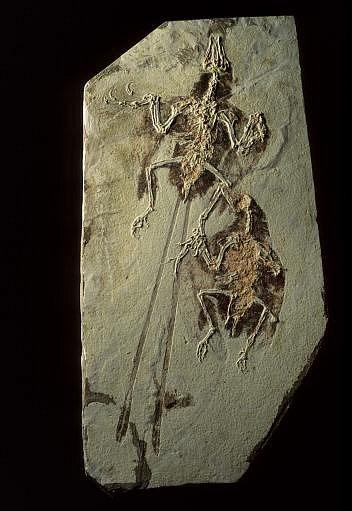 Na nalezišti fosilií včínské provincii Liao-ning byly objeveny nejen pozůstatky dinosaurů, ale také prvních ptáků, například tyto drobné a krásné exempláře druhu Confuciusornis sanctus, které jsou staré 120až 125milionů let.