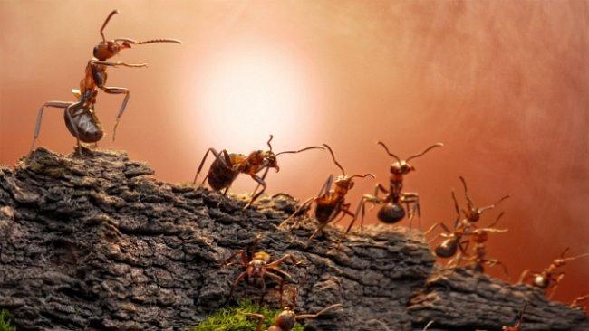 Mravenci vyhlásili chemickou válku. Nepřítele ničí na dálku