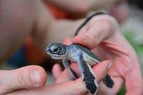 Přímá ochrana karet obrovských a pravých na líhních plážích spočívá hlavně v přenášení vajec mořských želv do bezpečí tak, aby je nenašli zloději a neprodali na trh.