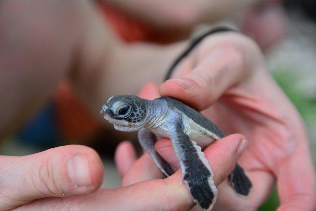 Chránit mořské želvy? Je to kumšt