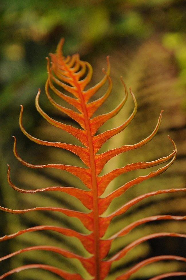 Žebrovice brazilská (Blechnum brasiliense)