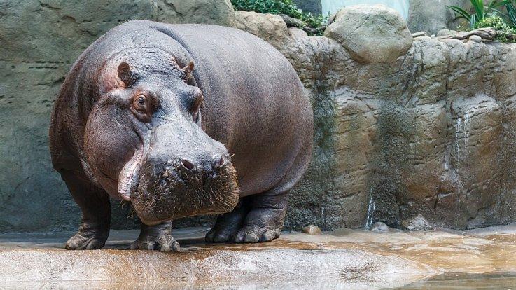 Slávek, hroch obojživelný, se narodil 30. října 1984 jako deváté mládě v pražské zoo.