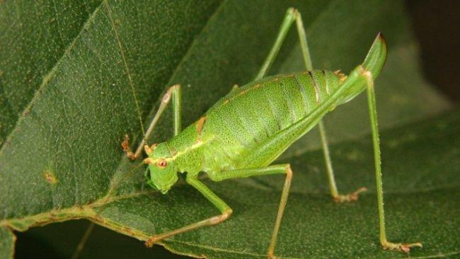 VIDEO: Zvuk půlmetrových kobylek zazněl poprvé po 165 milionech let